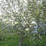 Весенняя обрезка деревьев и кустарников в саду.