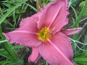 Украшение цветника – лилейник.